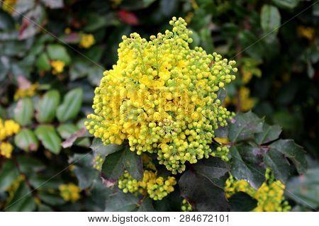 Oregon Grape Or Mahonia Aquifolium Evergreen Shrub Flowering Plant With Pinnate Leaves Made Up Of Sp