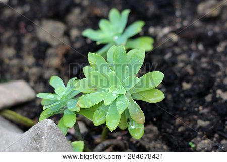 Sedum Or Stonecrop Perennial Leaf Succulent With Water-storing Leaves Plants Wet From Fresh Rain Gro