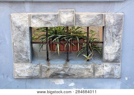 Spider Plant Or Chlorophytum Comosum Or Airplane Plant Or Saint Bernards Lily Or Spider Ivy Or Ribbo