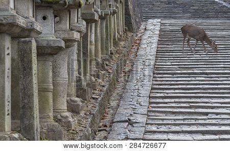 Deer in Kasuga Grand Shrine, Nara, Japan. Deer is cherished as a divine force of God poster