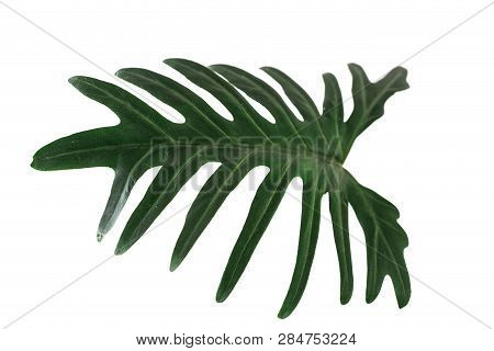 Green Tropical Leaf On White Background With Path, Philodendron Xanadu Croat.