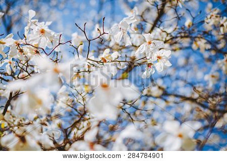 Charming lush magnolia flowers in sunlight against blue sky. Abstract seasonal background. Concept of the ecology. Scenic image of flowering orchard in spring time. Botanical garden. Beauty of earth.