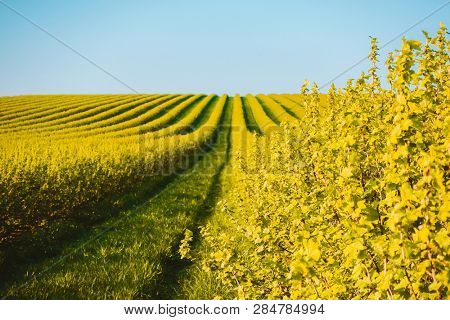 Idyllic Row of blackberry bushes on a summer farm in sunny day. Location rural place of Ukraine, Europe. Scenic image of ecology concept. Awesome garden in spring time. Discover the beauty of earth.