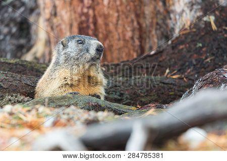 One Natural Marmot Groundhog (marmota Monax) Hidden In Tree Trunks