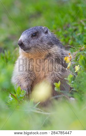 One Natural Groundhog Marmot (marmota Monax) Sitting In Grassland With Flowers