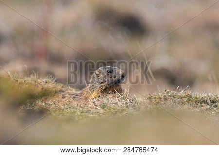 Natural Groundhog Marmot (marmota Monax) Hiding In Grassland, Sunshine