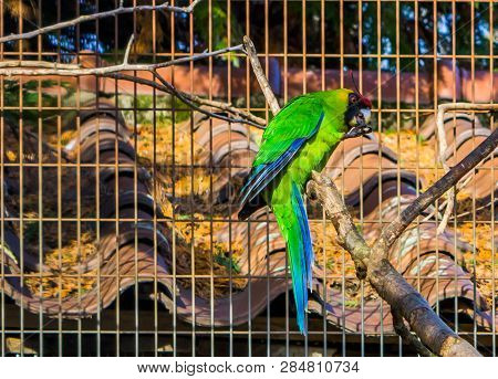 Horned parakeet sitting on a tree branch in the aviary, Parrot from new Caledonia, threatened bird specie with vulnerable status poster