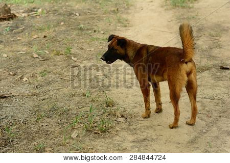 The Young Brown  Native Dog Walking Around Farmland  Area