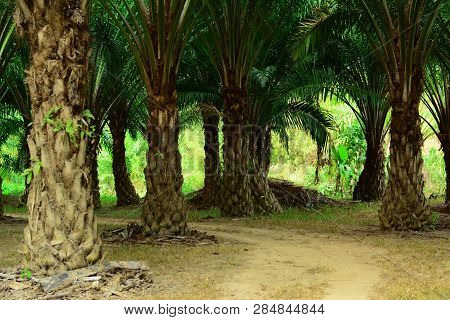 The Green  Palm Tree And Walk Way  At The Farm Land