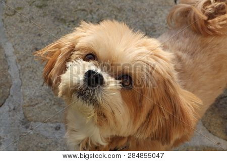 Lhasa Apso Dog Looking At The Sky In A Garden