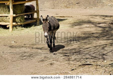 Full Body Of Domestic Brown Donkey On The Farm. Photography Of Nature And Wildlife.