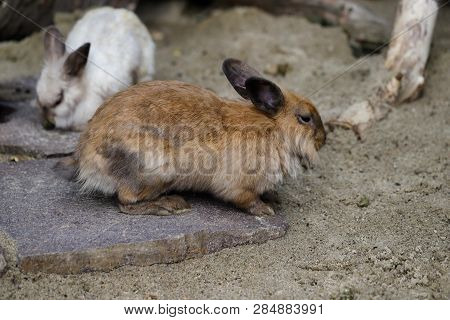 Full Body Of Grey-brown Domestic Pygmy Rabbit. Photography Of Nature And Wildlife.