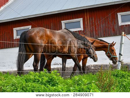 Two Thoroughbred Horses Eat Together In Front Of A Red Rustic Barn In Sorpoo Finland.