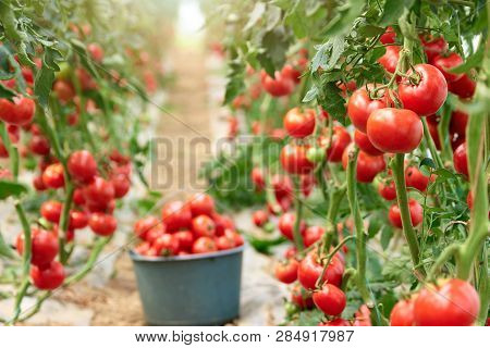 Ripe Tomatoes In Greenhouse Ready To Pick. Fresh Red Tomatoes In Greenhouse. Harvesting Of Healthy V