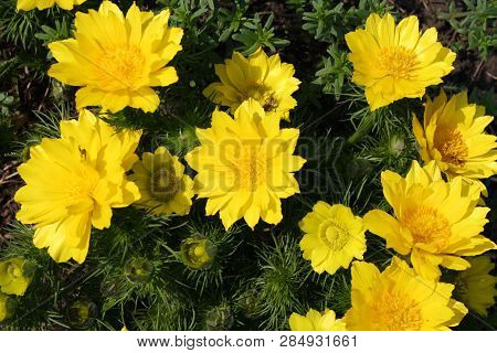 Adonis. Perennial. Medicinal Plant. Common In Europe And Non-hot Regions Of Asia