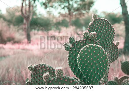 Opuntia Microdasys Cactus In Prairies Landscape Background With Field Grass Trees. Beautiful Tranqui