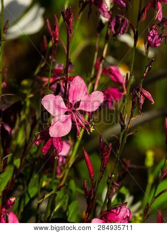Pink Gaura Or Oenothera Lindheimeri Blooming At Flowerbed Flowers And Buds Close-up, Selective Focus