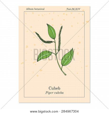 Java Pepper Piper Cubeba , Or Cubeb, Medicinal Plant. Hand Drawn Botanical Vector Illustration