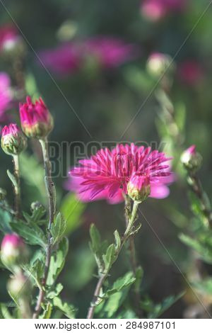 Beautiful Pink Violet Chrysanthemum In The Garden. Sunny Day, Shall Depth Of The Field. Floral Backg