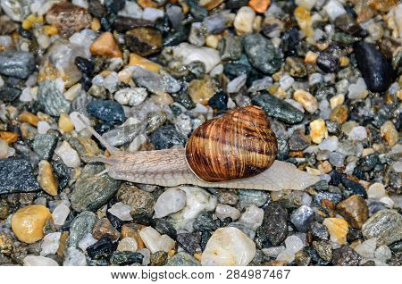 Snail With Brown Shell On The Ground, Open Antenas, Rocks Background Close Up
