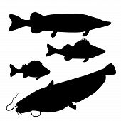 Silhouettes of freshwater predatory fishes. Pike, zander, perch, catfish. Vector illustration isolated on white background poster