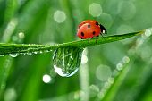 fresh morning dew and ladybird poster