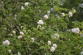"""rambling or climbing rose """"Madame Alfred Carriйre"""" with bright pink flowers in an apple tree, old noisette rose bred by schwartz 1875, selected focus poster"""