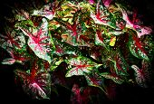 Colorful leaf Caladium bicolor on dark background / Queen of the Leafy Plants poster