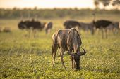 Common Blue Wildebeest or Brindled Gnu (Connochaetes taurinus)  grazing at sunset in Mooiplaas river bed in bushveld savanna of Kruger national park South Africa with ostrich in background poster