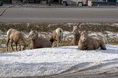 A herd of female ewe bighorn sheep gather, graze and relax in a roadside ditch during winter in Radium Hot Springs British Columbia poster