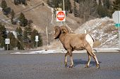 Ram male bighorn sheep trots and walks along a road in Radium Hot Springs, British Columbia Canada poster