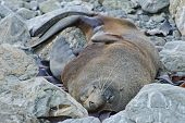 Resting fur seal at the Kaikoura Coast South Island New Zealand. poster