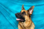 A young german shepherd dog in studio against blue backdrop looking very alert.. poster