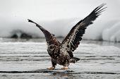 Young Bald Eagle (Haliaeetus leucocephalus ) landed on ice poster
