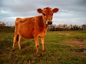 a red cow looking curiously at the camera.  animal farm.  green grassy meadow poster