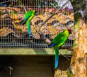 two horned parakeets sitting on a tree branch in the aviary, parrots from new caledonia, threatened bird specie with vulnerable status poster