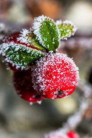 Winter Holly Berrie. White - Frosted Red Holly Berries On A White Frost