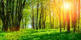 Forest spring landscape - forest trees with grass on the foreground and sunlight shining through the forest trees. Sunny colorful forest spring nature