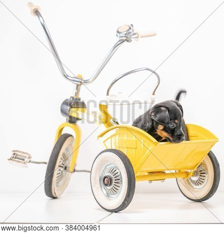 Square Puppy Portrait Jack Russell Terrier In The Back Of A Yellow Tricycle On A White Background