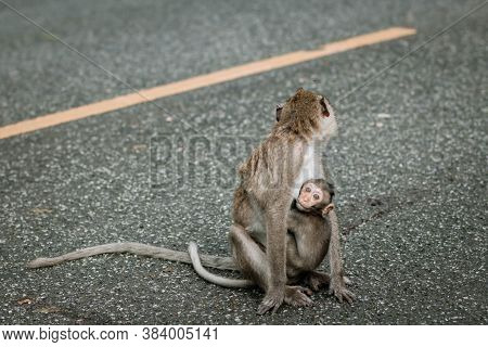 Monkey Mother With Baby Monkey On Gray Road Background. Cute Baby Vervet Monkey. Baby Monkey Eating