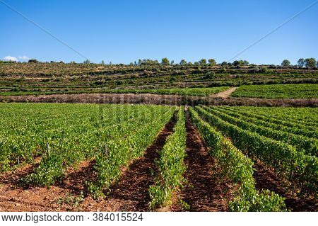 Rows Of Ripe Wine Grapes Plants On Vineyards In Cotes  De Provence, Region Provence, South Of France