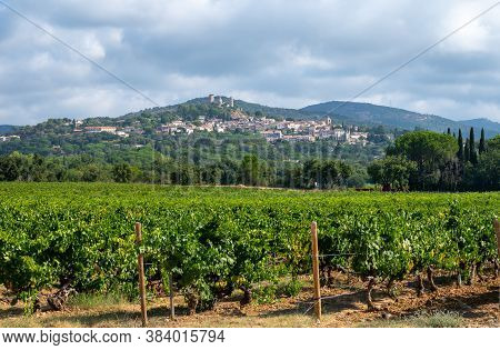 Rows Of Ripe Wine Grapes Plants On Vineyards In Cotes  De Provence Near Grimaud, Region Provence, So