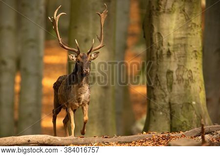 Dominant Fallow Deer Stag Approaching From Front In Autumn Forest