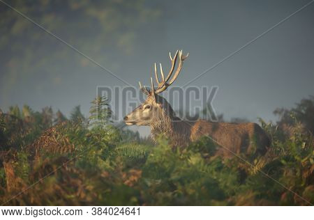 Close-up Of A Red Deer Stag Standing In The Filed Of Ferns During Rutting Season On A Misty Autumn M