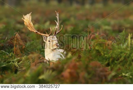 Close-up Of A Fallow Deer Stag Standing In A Field Of Ferns, Uk.