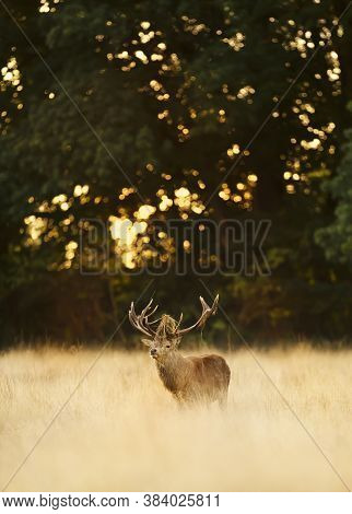 Red Deer Stag Standing In A Field Of Yellow Grass  During Rutting Season In Autumn, Uk.
