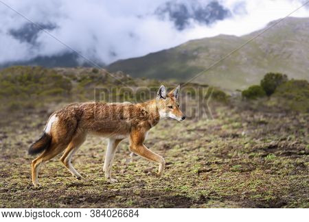 Rare And Endangered Ethiopian Wolf (canis Simensis) Walking In The Highlands Of Bale Mountains, Ethi