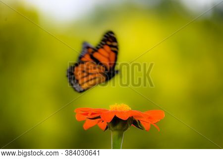 Close Up Of An Orange Flower With A Monarch Butterfly Flying In The Background