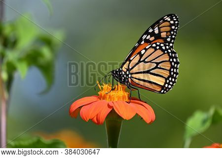 Monarch Butterfly On An Orange Flower With Yellow Center
