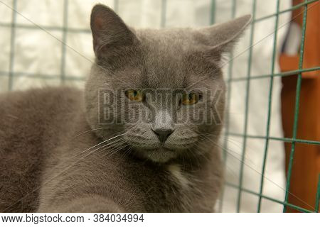 Gray With A White Speck On His Chest British Cat